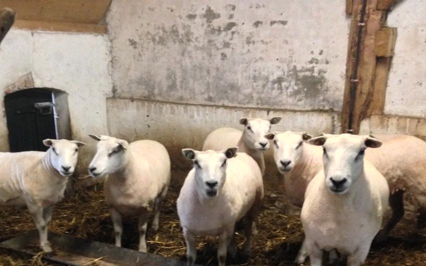 Wolloze schapen